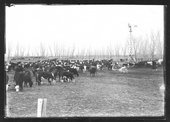 Cattle in pen, J.C. Mitchell ranch, Finney County, Kansas