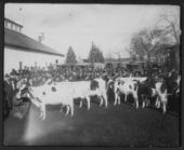 Fair exhibition of cattle in Allen County, Kansas