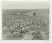 Strawberry picking at the State Orphans Home, Atchison, Kansas