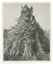 Sorghum and Corn stocks