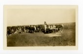Stockman feeding cattle, Butler County, Kansas