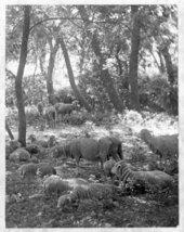 Sheep on the John Fenton Pratt ranch, Sheridan County, Kansas