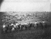 Cowboys with a herd of cattle