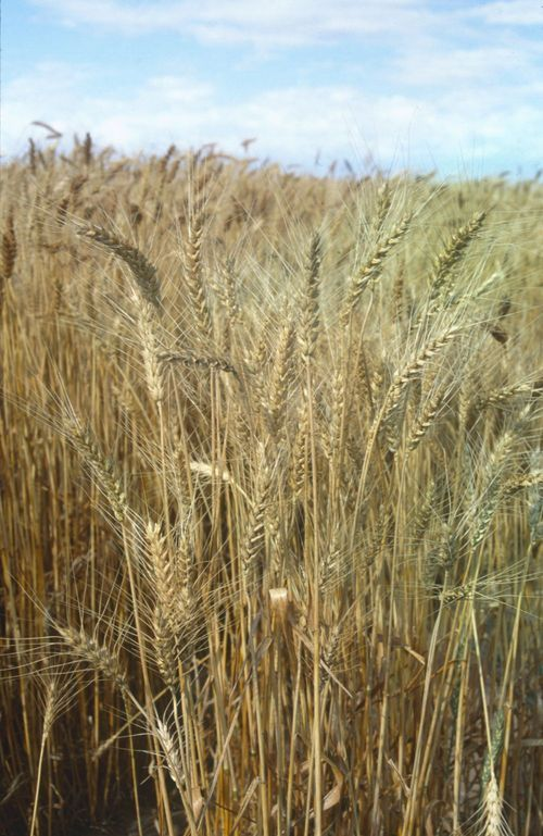Wheat field, Kingman County, Kansas - Page