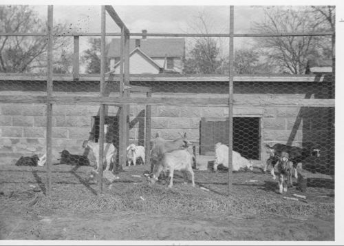 Toggenburg Goats - Page