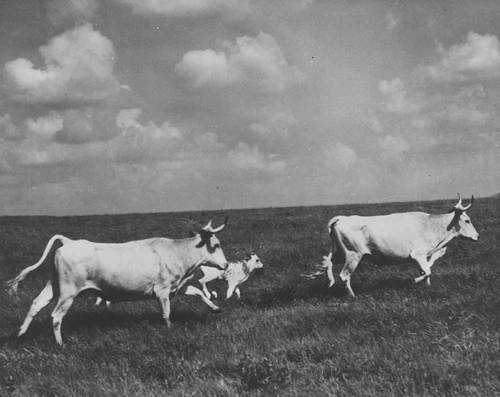 Longhorn cattle - Page