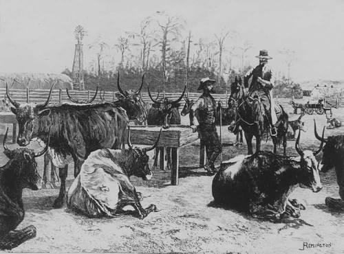 Texas cattle in a corral - Page
