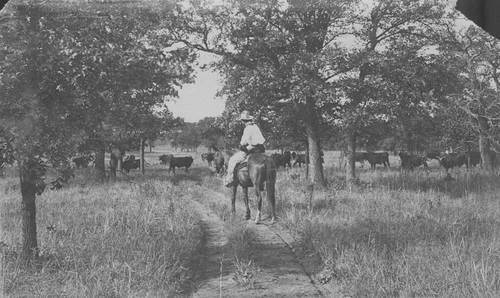 Cowboy with cattle - Page