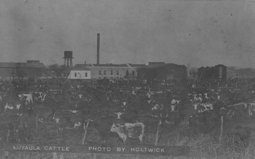 Cattle in Eufaula, Oklahoma - Page