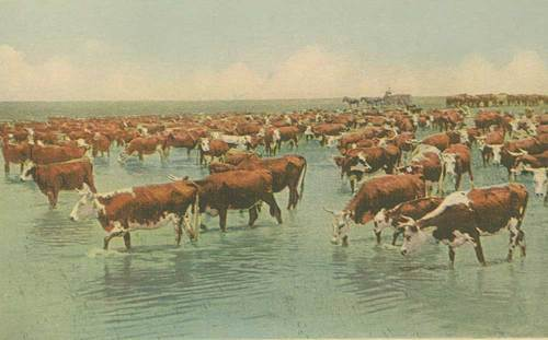 Watering the cattle herd - Page