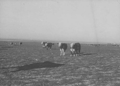 Herd of cattle in pasture - Page