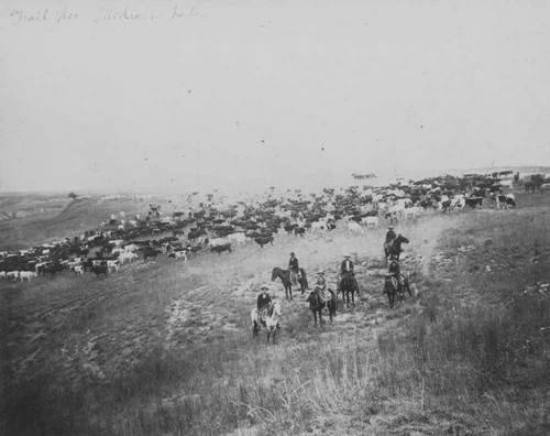Cowboys herding cattle in Barber County, Kansas - Page