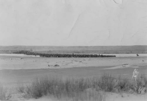 Herd of cattle in Texas - Page