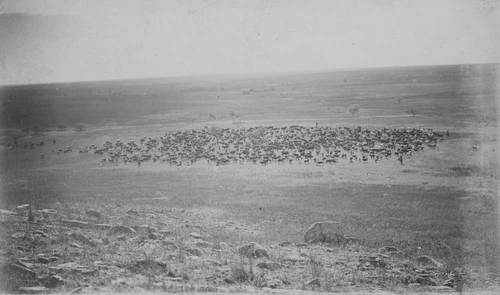 Herd of cattle in Oklahoma - Page