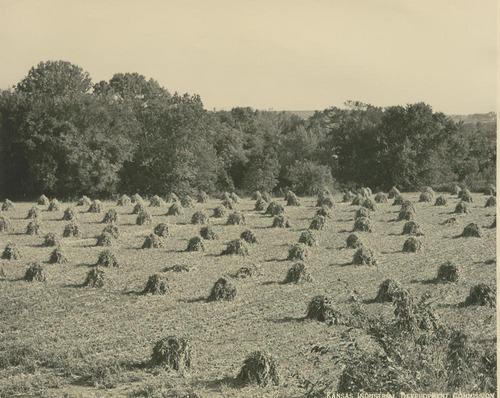 Field of kafir corn - Page