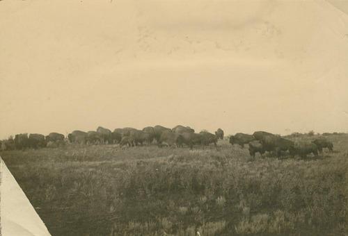 Buffalo herd - Page