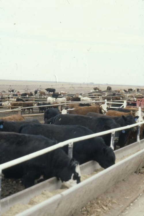 Cattle in a feedlot - Page