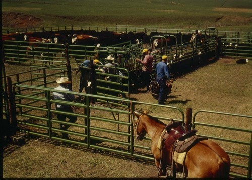 Cowboys rounding up cattle - Page
