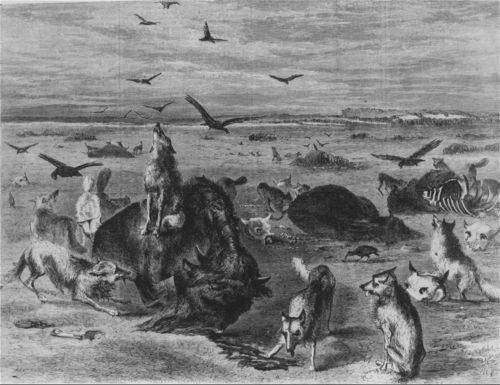 Slaughter of buffalos on the plains - Page