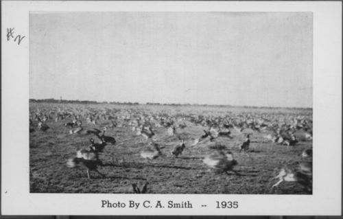 Jack rabbit roundup near Liberal - Page