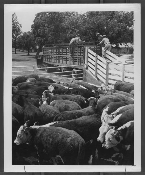 Loaded stock trailer and cattle in a corral - Page