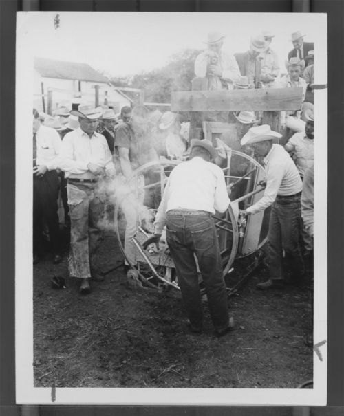Branding a calf in a squeeze chute - Page