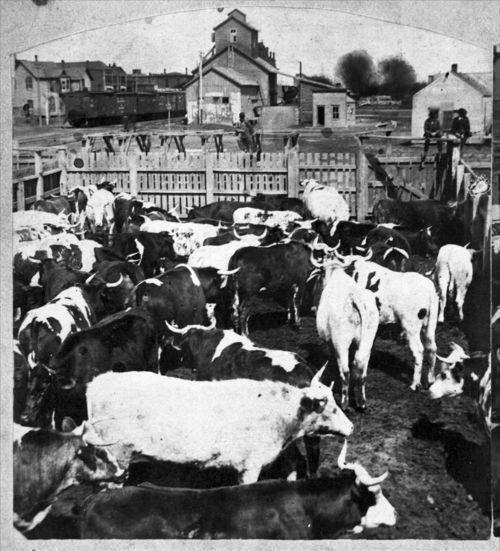Cattle in Abilene, Kansas - Page