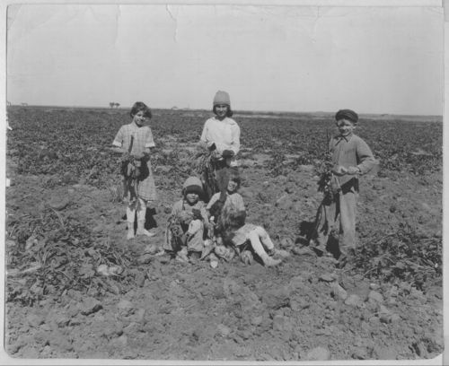 Children working on a Kansas beet farm