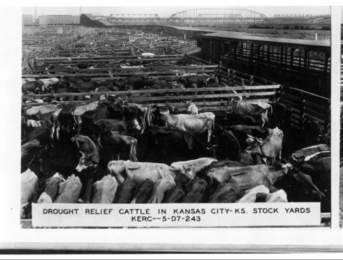 Drought relief cattle in Kansas City KS Stock yards, 1935