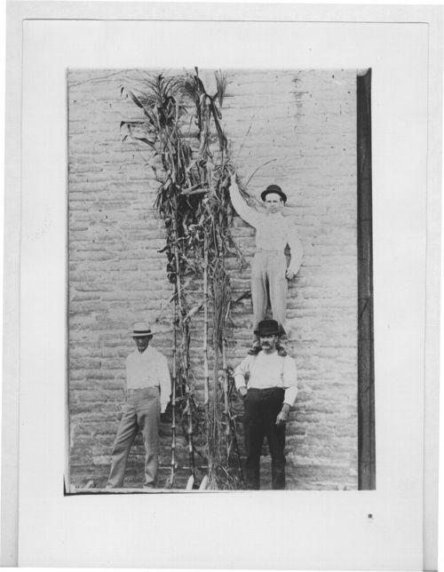Corn stalks, Jewell, Kansas - Page