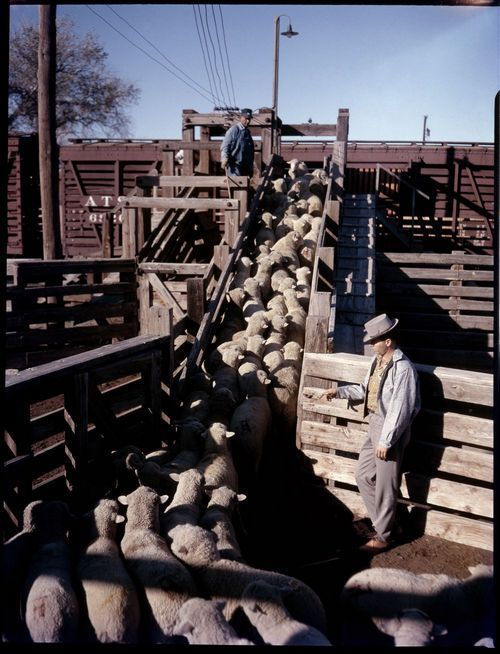 Loading sheep, Roswell, New Mexico - Page
