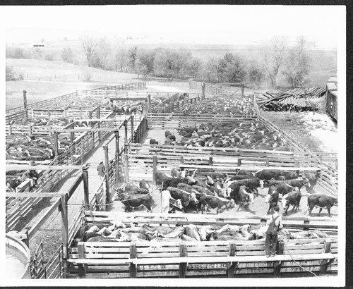 Cattle in loading pens near Eskridge, Kansas - Page