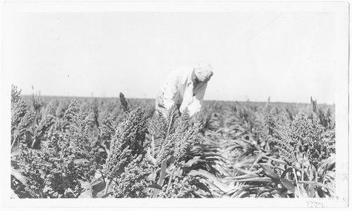 Milo field in Finney County, Kansas - Page
