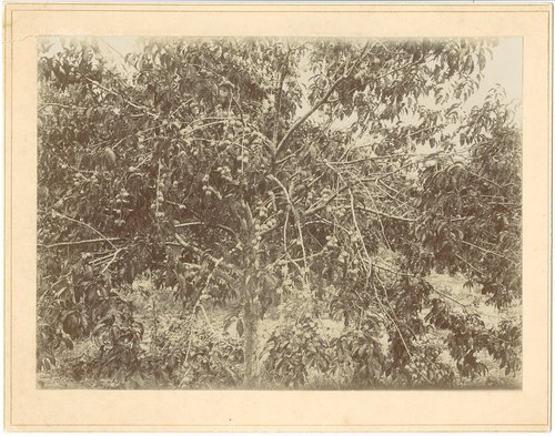 Peach tree in Finney County, Kansas - Page