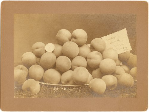 Peaches grown by Mrs. M.A. Cole, Garden City, Finney County, Kansas - Page
