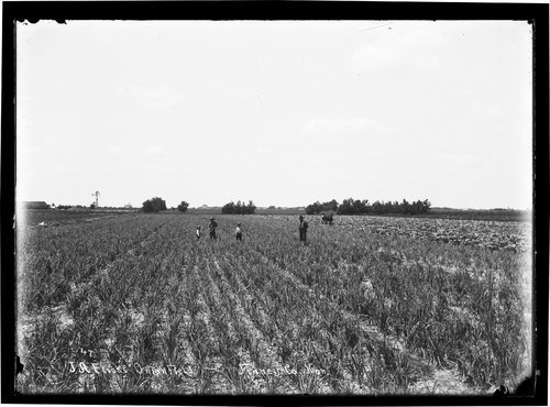 J. A. Flock's onion field, Finney County, Kansas - Page