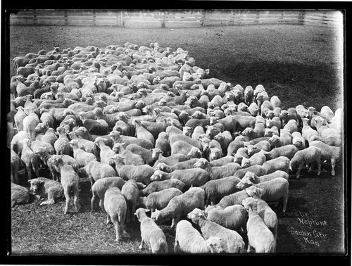 Flock of sheep owned by Neptune, Garden City, Finney County, Kansas - Page