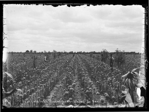 Onion field on Diesem farm, Finney County Kansas - Page