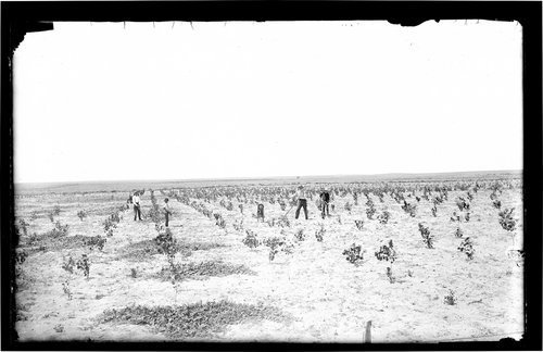 Hoeing a crop, Finney County, Kansas - Page