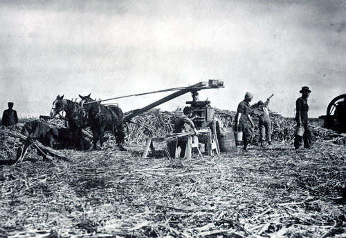Scott City high school students working in a sugar cane field - Page