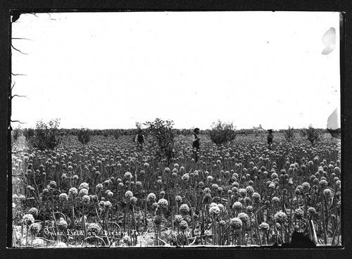 Onion field on the Diesem farm, Finney County, Kansas - Page