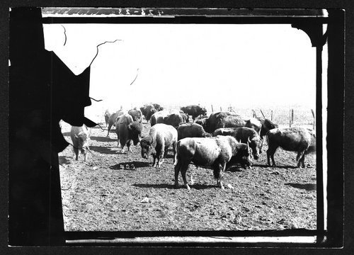C. J. Jones'  herd of buffalo in Garden City, Kansas - Page