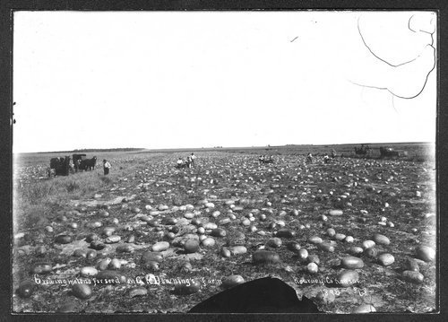 Growing watermelon for seed, A.R Downing's farm, Kearney [Kearny] County, Kansas - Page