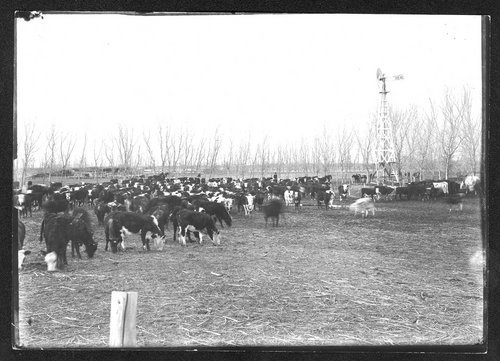 Cattle in pen, J.C. Mitchell ranch, Finney County, Kansas - Page