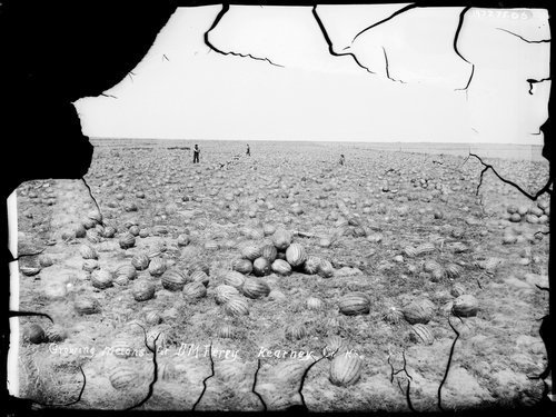 Growing melons for D. M. Ferry, Kearney [Kearny] County, Kansas - Page