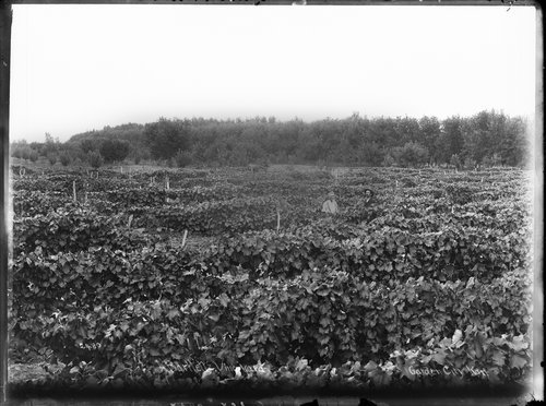 Bartlett's vineyard, Garden City, Finney County, Kansas - Page