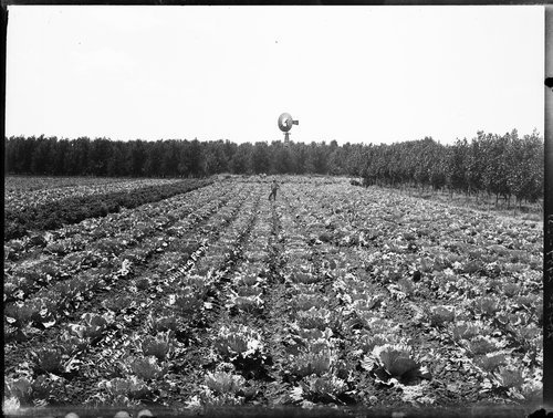 Cabbage field, pumping plant, Doty farm, Finney County, Kansas - Page