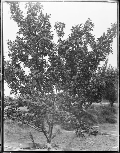 Peach tree, Finney County, Kansas - Page