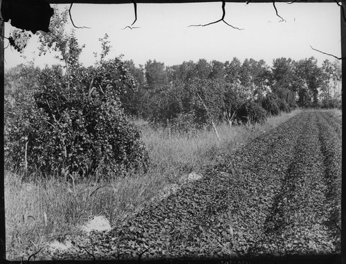 Fruit trees, Finney County, Kansas - Page