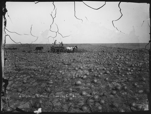 Threshing watermelons, Kearney [Kearny] County, Kansas - Page